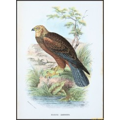 March Harrier, Antique print, Birds in Nature of Great Britain, by Lloyd 1896.