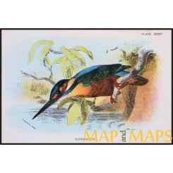 Kingfisher, Antique print, Birds in Nature of Great Britain, by Lloyd 1896.