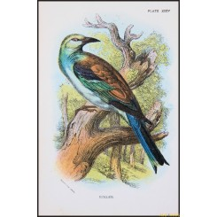 Roller, Antique print, Birds in Nature of Great Britain, by Lloyd 1896.