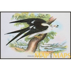 Swallow-Tailed, Antique print, Birds in Nature of Great Britain, by Lloyd 1896