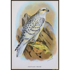 Greenland Falcon, Antique print, Birds in Nature of Great Britain, Lloyd 1896