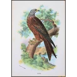 Kite, Antique print, Birds in Nature of Great Britain, Lloyd 1896