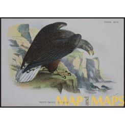 Sea Eagle, Antique print, Birds in Nature of Great Britain, Lloyd 1896