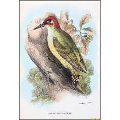Green Woodpecker,Antique print,Birds in Nature of Great Britain,by Lloyd 1896.