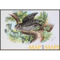 Little Owl,Antique print,Birds in Nature of Great Britain,by Lloyd 1896.