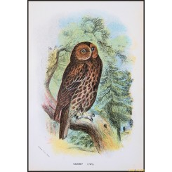 Tawny Owl,Antique print,Birds in Nature of Great Britain,by Lloyd 1896.
