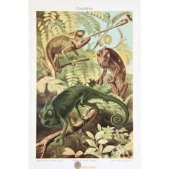 Chameleon Old Antique Print of the Chamaeleonidae family. 1905