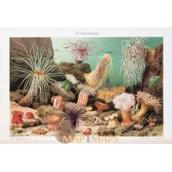 Sea anemones Vintage antique prints of the Actiniaria 1905