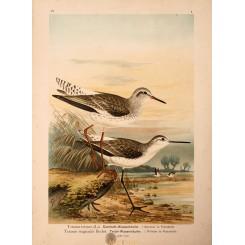 Totanus totanus, Redshank bird print Naumann - Mapandmaps.
