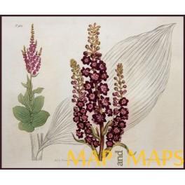 ORIGINAL ANTIQUE LARGE HAND COLORED BOTANICAL PRINT N 963 CURTIS/WALWORTH 1806