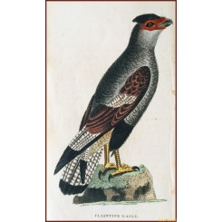 Antique original bird print, Plaintive Eagle, by Harrison 1800