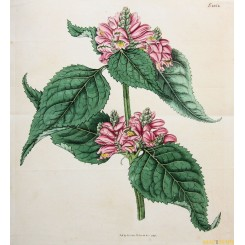 ORIGINAL ANTIQUE LARGE HAND COLORED BOTANICAL PRINT CURTIS/WALWORTH 1816