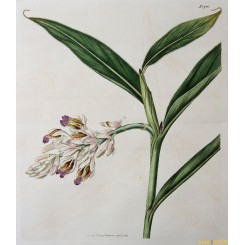 ORIGINAL ANTIQUE LARGE HAND COLORED BOTANICAL PRINT CURTIS/WALWORTH 1817
