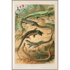 Lizards, old antique print, Brockhaus encyclopedia 1892