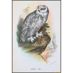 Snowy Owl,Antique print,Birds in Nature of Great Britain,by Lloyd 1896.
