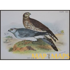 Hen Harrier, Antique print, Birds in Nature of Great Britain, by Lloyd 1896.