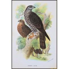Honey Kite, Antique print, Birds in Nature of Great Britain, Lloyd 1896
