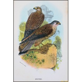 Kestrel, Antique print, Birds in Nature of Great Britain, Lloyd 1896
