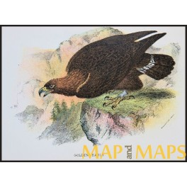 Golden Eagle, Antique print, Birds in Nature of Great Britain, by Lloyd 1896.