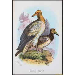 Egyptian Vulture, Antique print, Birds in Nature of Great Britain, Lloyd 1896