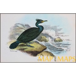 Shag, Antique print, Birds in Nature of Great Britain, Lloyd 1896
