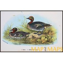 American Teal, Antique print, Birds in Nature of Great Britain, Lloyd 1896