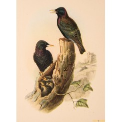 OLD VINTAGE BIRD PRINTS LOT OF 3 AFTER JOHN GOULD