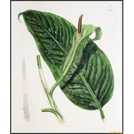 ORIGINAL ANTIQUE LARGE HAND COLORED BOTANICAL PRINT N 2606 CURTIS/WALWORTH 1825