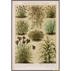 Ornamental Grasses, old antique print, Brockhaus encyclopedia 1892