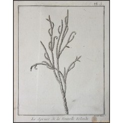 DACRYDIUM CUPRESSINUM OF NEW ZEALAND RIMU OLD ENGRAVING BY CAPT. COOK 1775