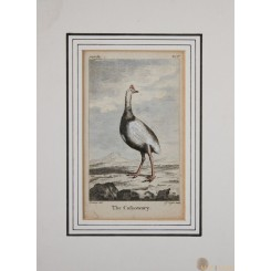 CALFSOWARY BIRD GOLDSMITH BUFFON ENGRAVING PRINT 1816