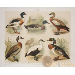 ANTIQUE PRINT, DUCKS, ENTEN, BY MEYERS 1897