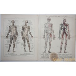 Human Anatomy two old 19s. prints Meyer