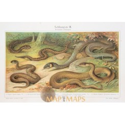 Snakes Old Antique reptile Print. 1905