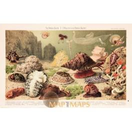 Snails Old Antique shelled gastropods print 1905