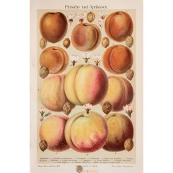 Peaches and apricots Old Antique Print. 1905