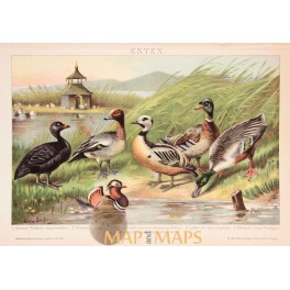 Ducks, old antique print, Brockhaus encyclopedia 1882