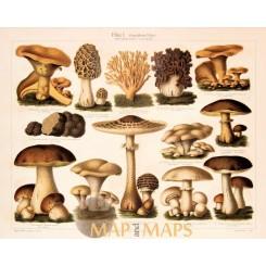 Mushrooms, Antique Nature Print of Fungus. 1905