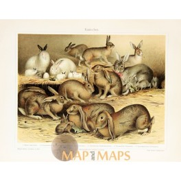 Rabbits Antique Nature Prints of the Leporidae family. 1905