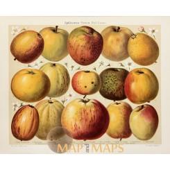 Apple varieties Fruits Antique Nature Print 1905