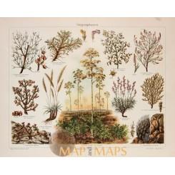 Steppe plants Antique Botanical Print. 1905