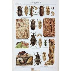 Forest Insects, Antique Old Print. 1905