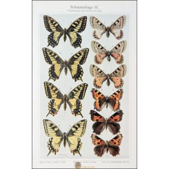 Butterflies IV, Antique Old Print Insects 1905