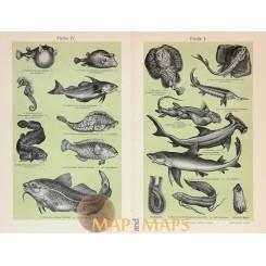 Fishes I - II - III - IV, Antique Print 1905