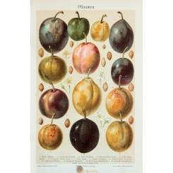 Plums Vintage antique print of the Prunus 1905