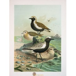 Charadrius, birds, antique Bird Print Naumann 1897