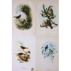 4 Singing Birds Prints. Original old vintage color prints