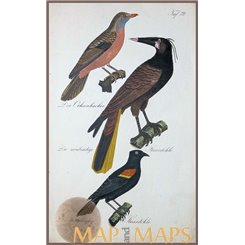 RED BILLED PSAROCOLIUS MONTEZUMA RED-WINGED BLACKBIRD OLD BIRD PRINT 1880