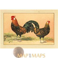 Hamburger Goldblack, Vintage chicken Print 1920.