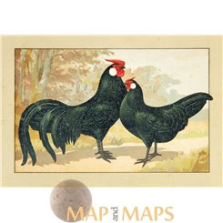 Rosecomb breeds, Vintage chicken Print 1920.